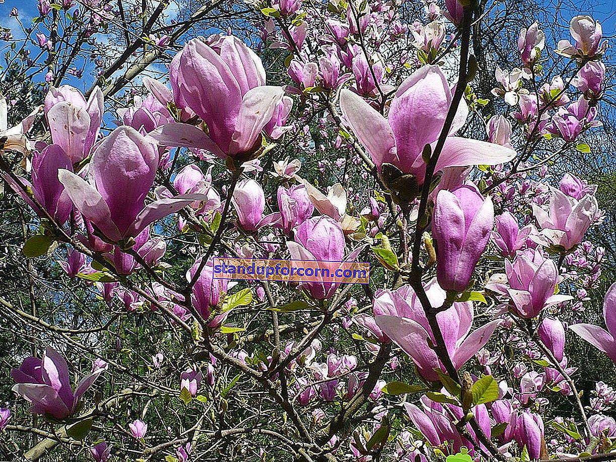 Magnolia - dyrkning, sorter, sygdomme
