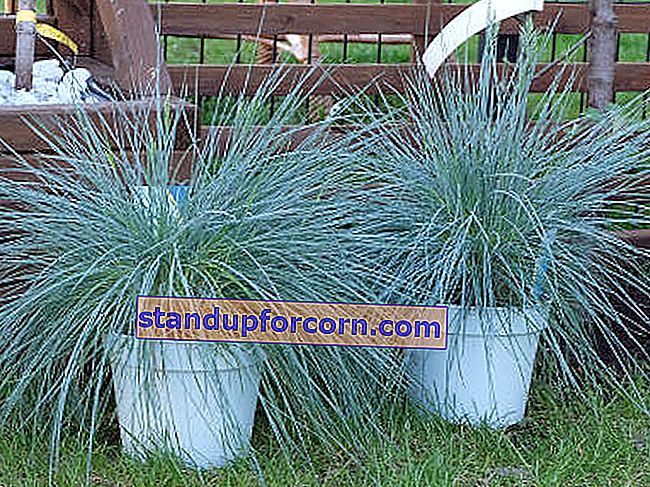 fescue blue Intense Blues