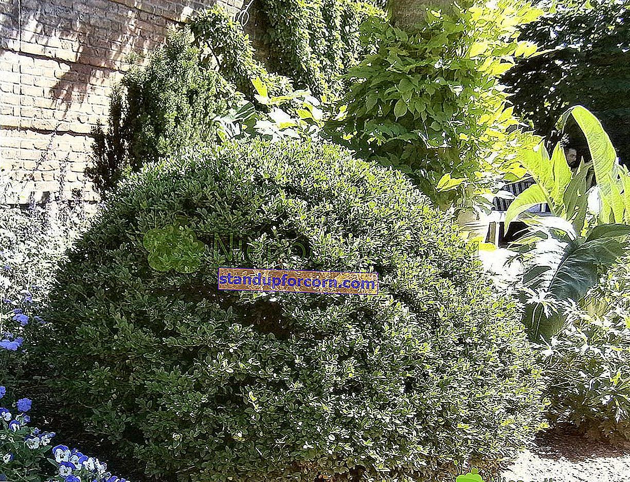 Yaprak dökmeyen şimşir - çeşitleri, yetiştirme, kesme, üreme