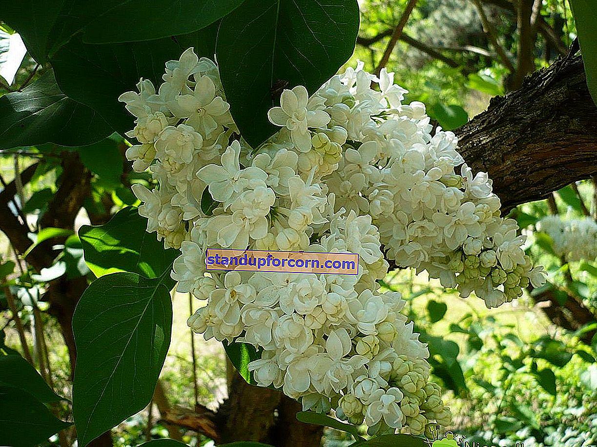 Biely drieň - kultivácia, rez, reprodukcia, odrody