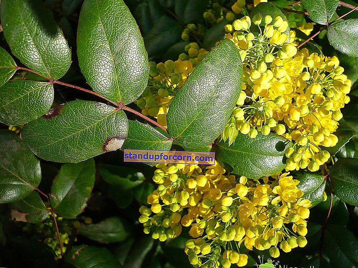 Mahonia obyčajná - kultivácia, rezanie, rozmnožovanie