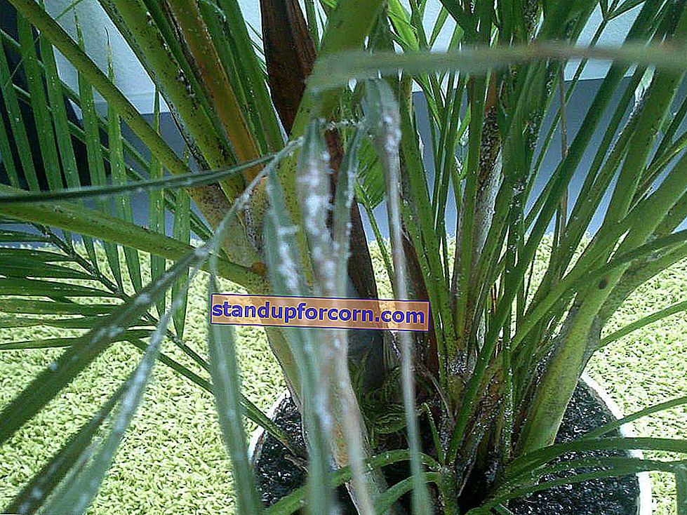Areka palmiyesi - bakım ve hastalıklar