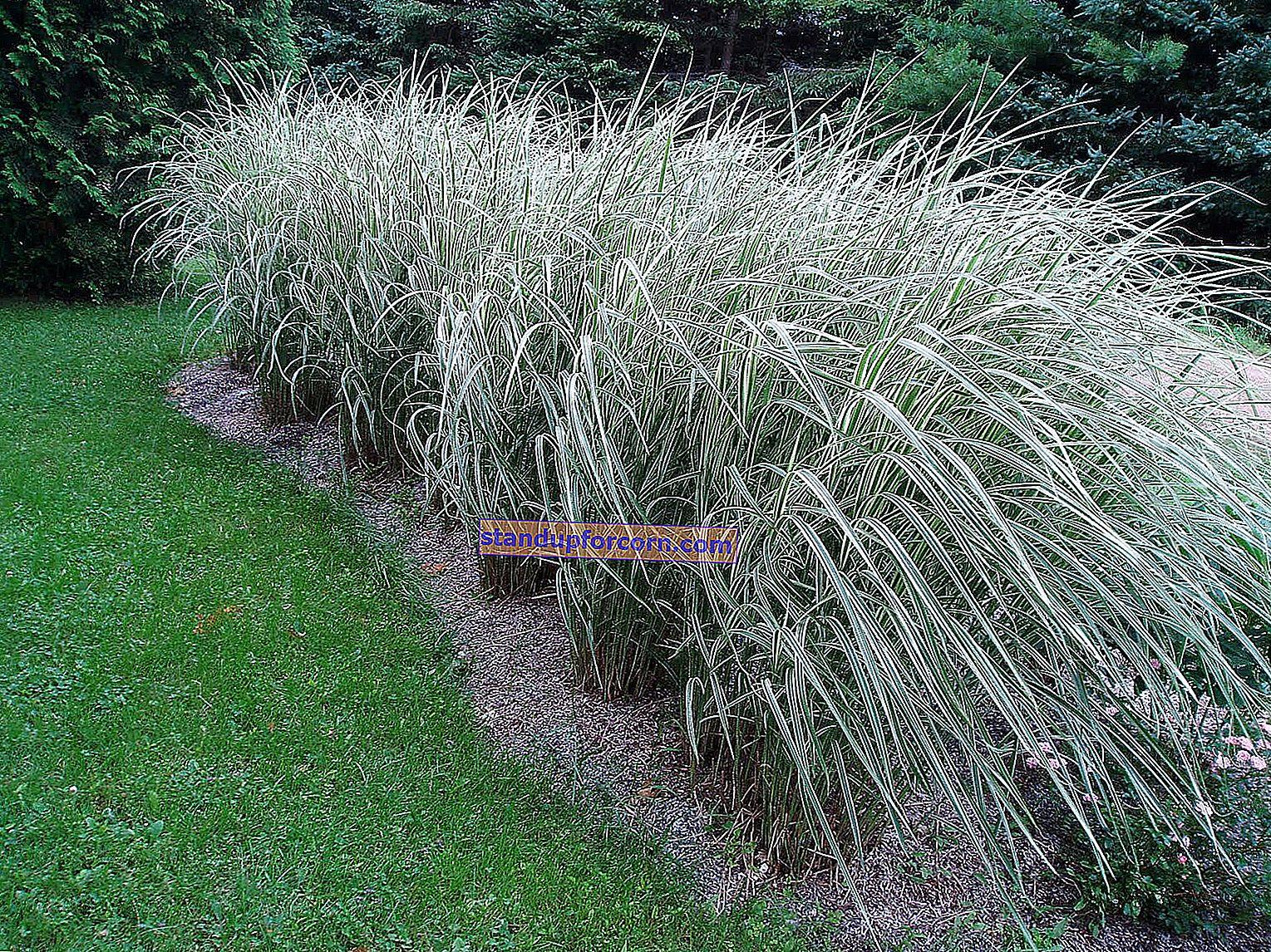 Κινέζικο miscanthus - ποικιλίες, καλλιέργεια