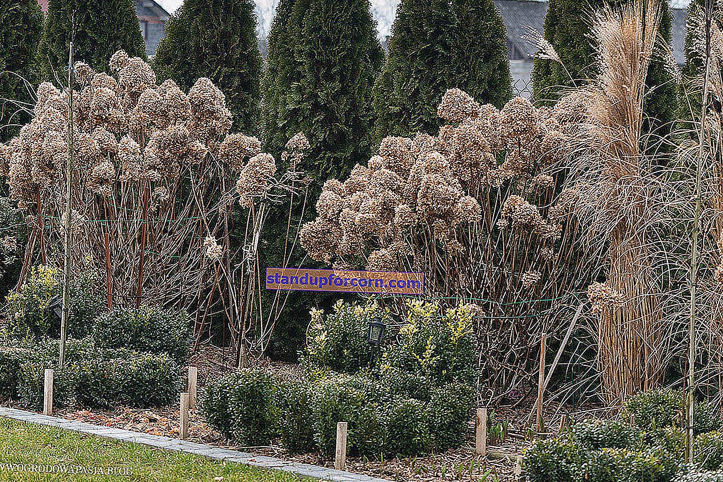 Skjære hortensiaer. Hvordan og når skal du beskjære hortensiaer?