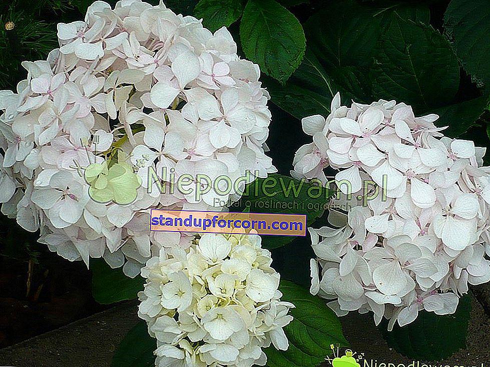 Dubová hortenzia - odrody, pestovanie, rezanie, rozmnožovanie