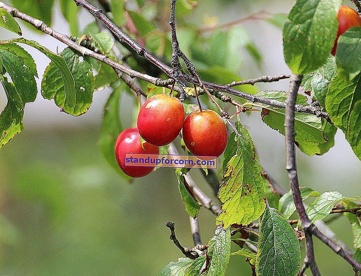 Skjæring av kirsebær. Hvordan og når skal du beskjære kirsebær?