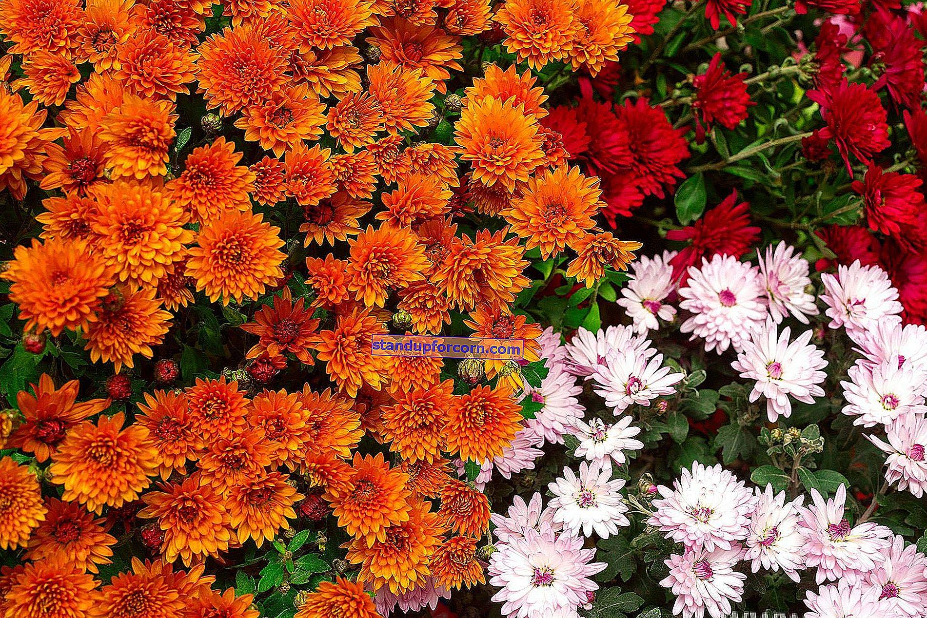 Chryzantémy - pestovanie, záhradné odrody, reprodukcia