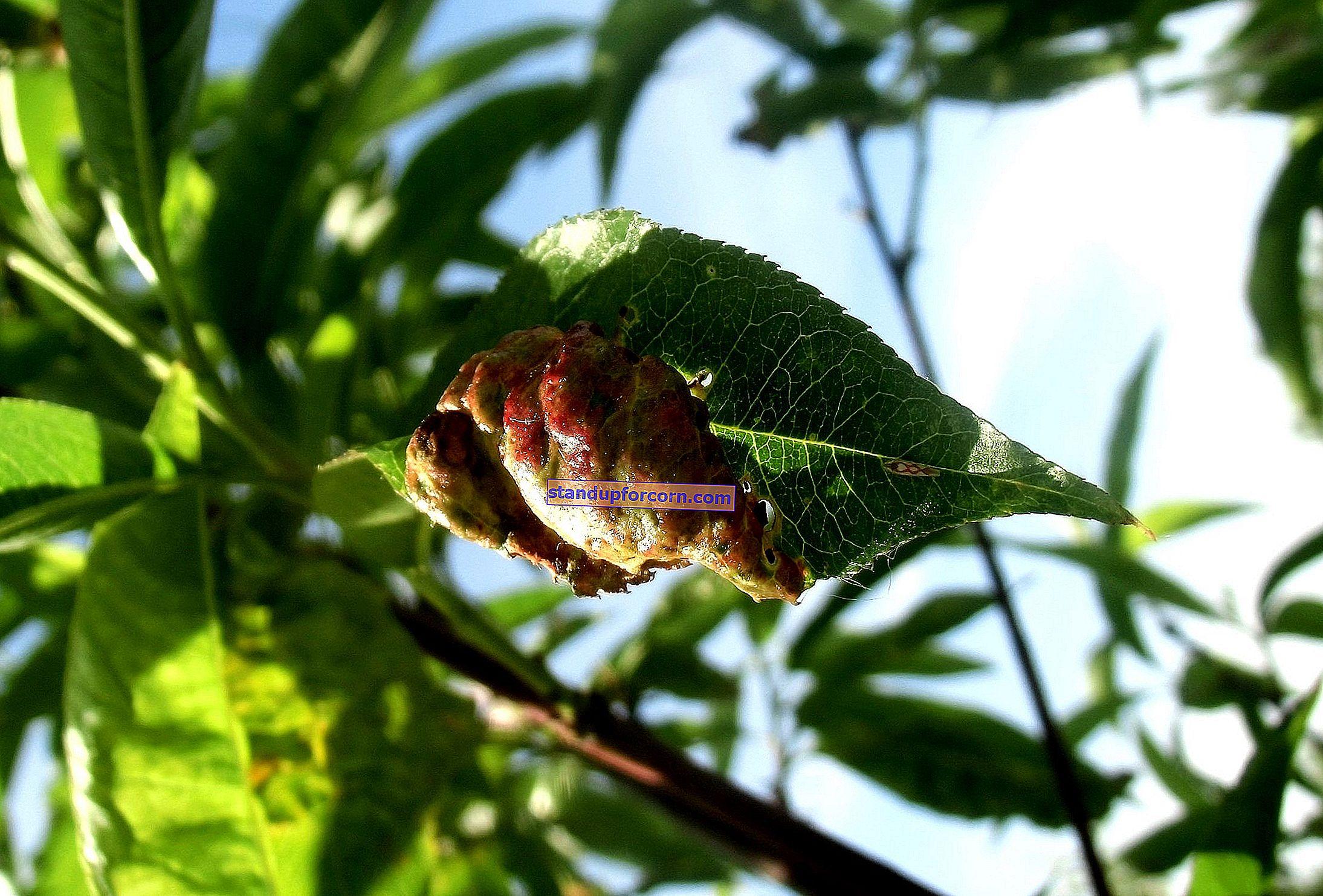 Kučeravosť broskyňových listov - ekologická kontrola a postrek