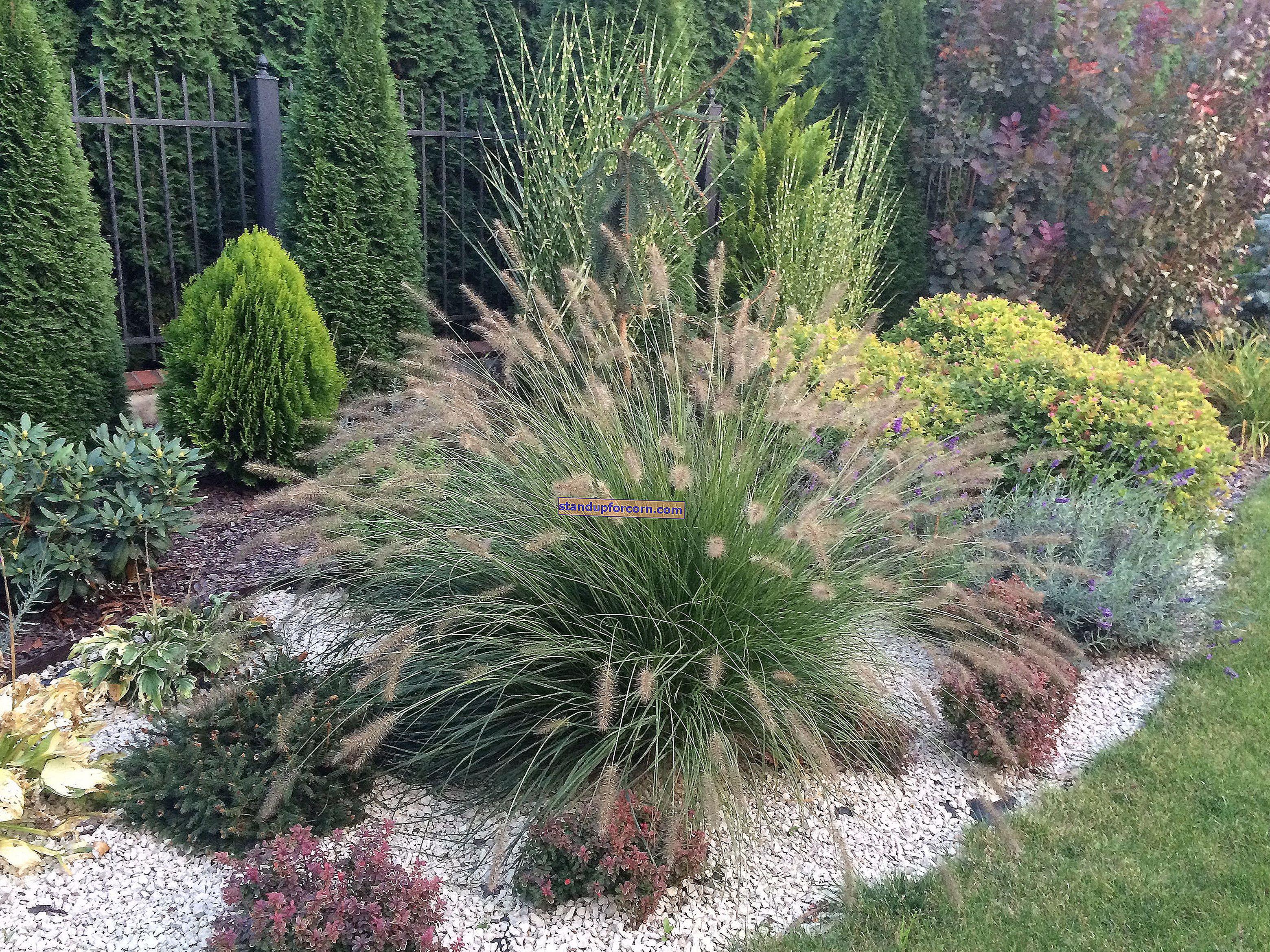Balkon için süs çimleri. Saksılara ne tür çim ekilir?