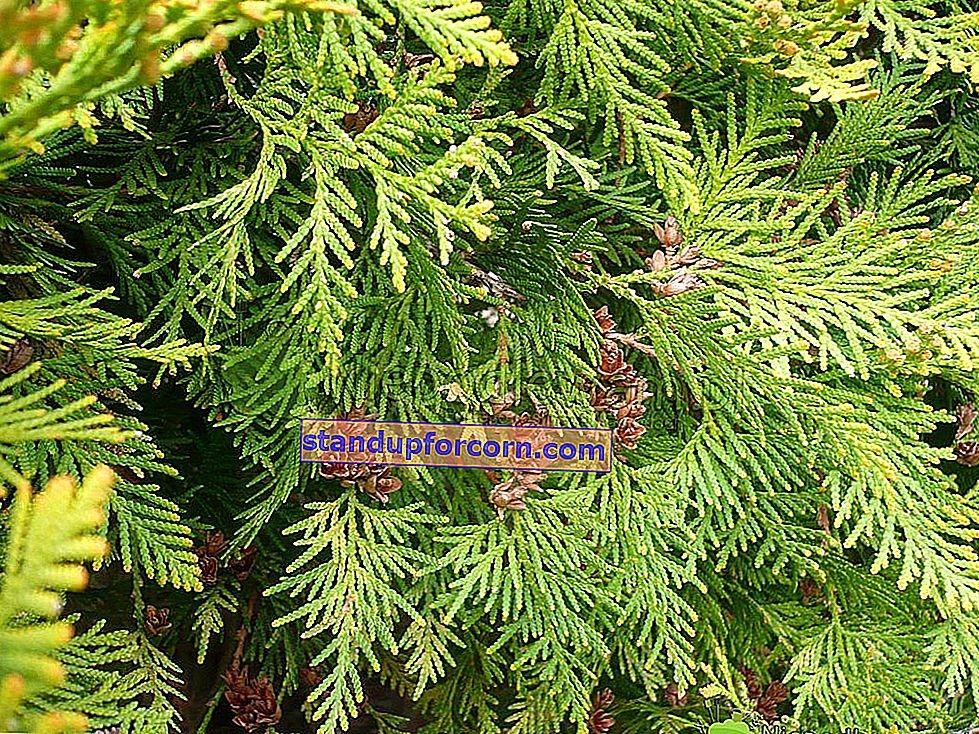Slivka Wegierka - odrody, pestovanie, choroby