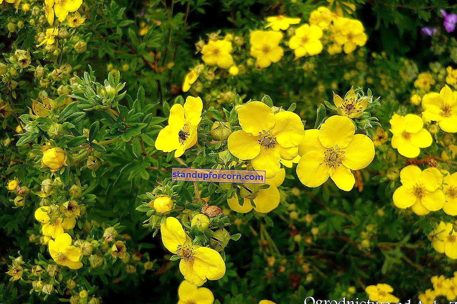 Krík lesný - odrody, pestovanie, rezanie, rozmnožovanie