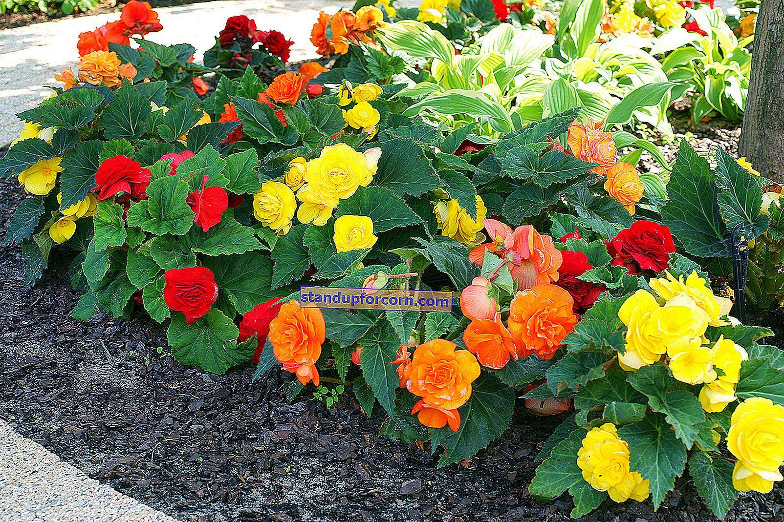 Begonia - sorter och odling