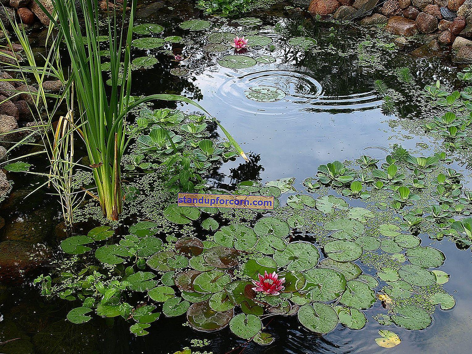 Gölet için suyu arıtmak için bitkiler