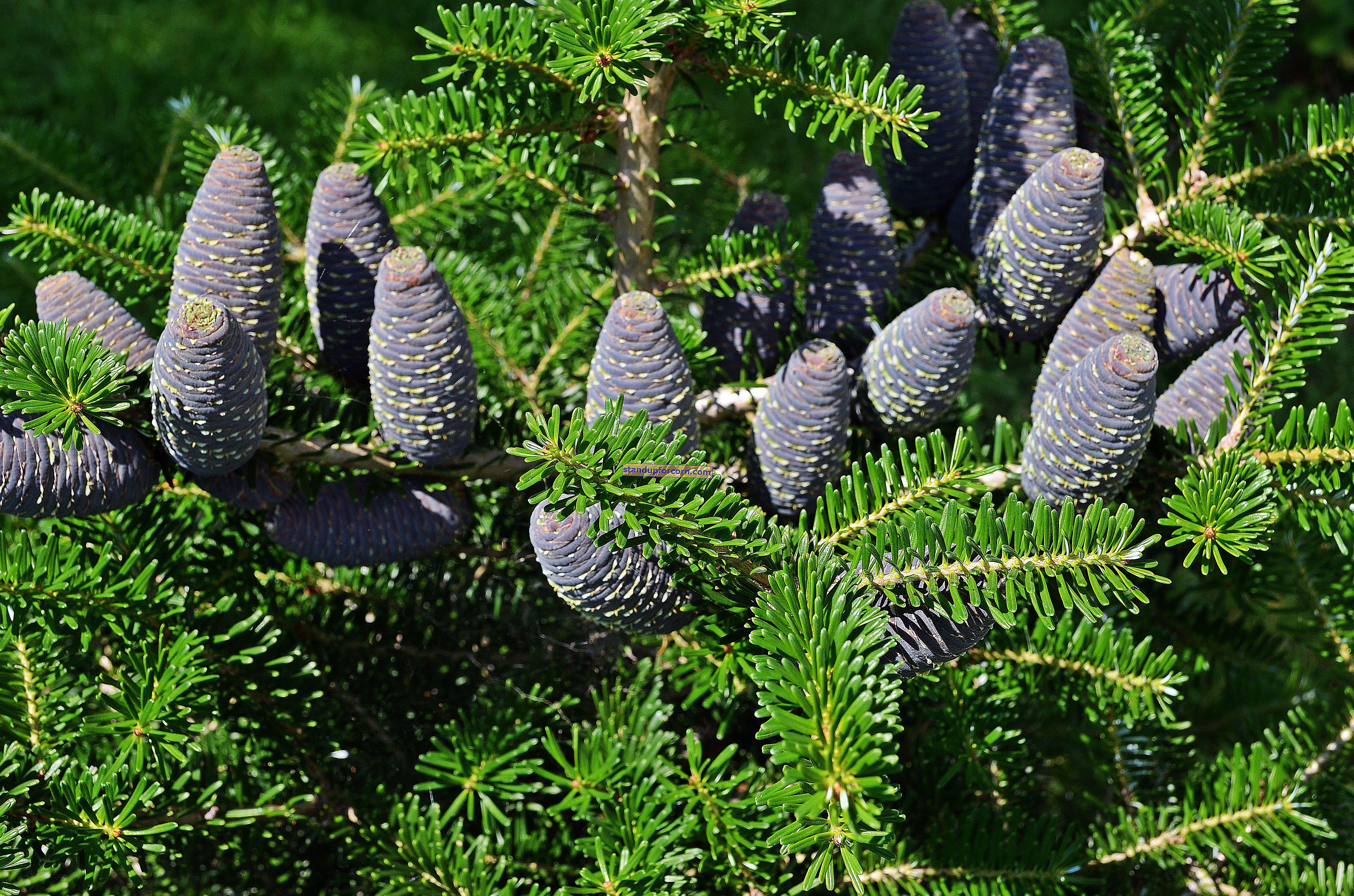 Küçük bir bahçe için süs ağaçları