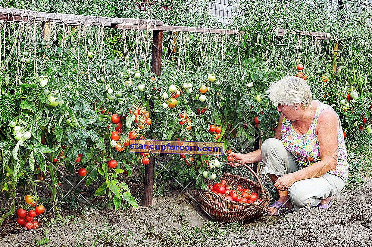 Hvordan plantes tomater i et drivhus?