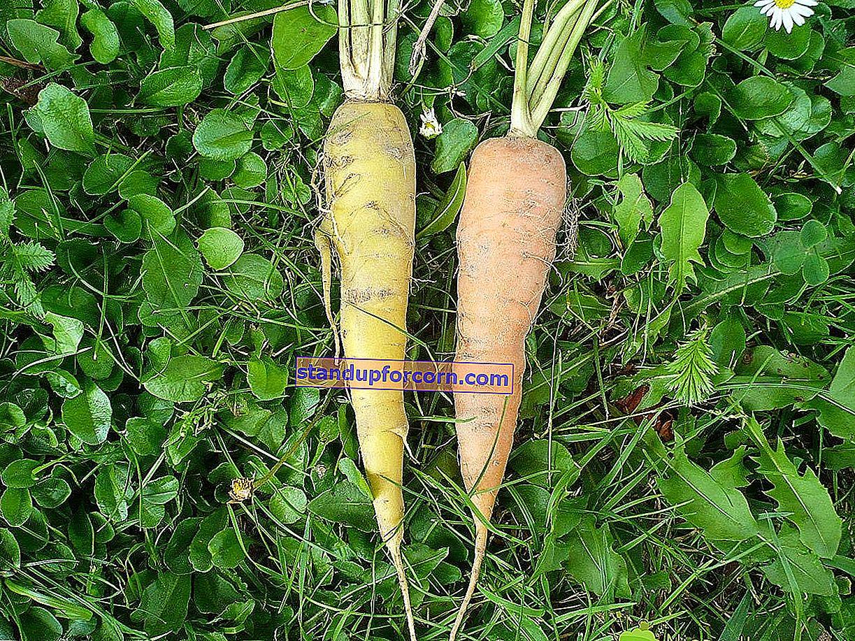Såning af grøntsager i jorden