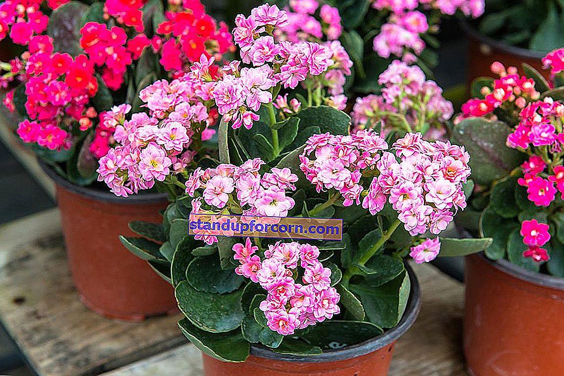 Celoročne kvitnúce črepníkové kvety