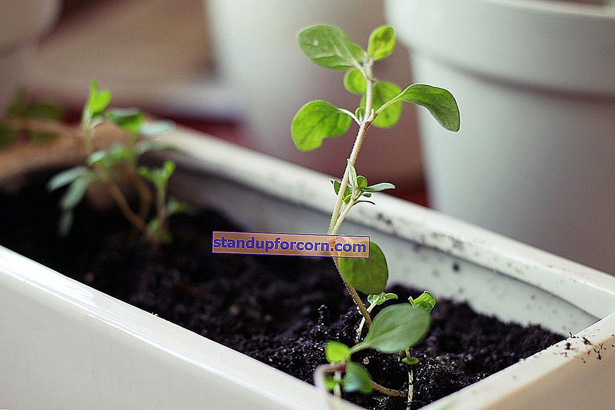 Urter hjemme - vokser i potter, hvordan man planter, når man skal så
