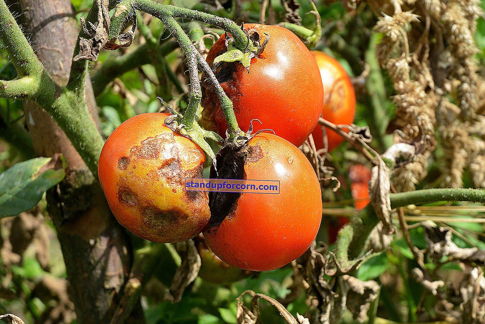 Škvrny na listoch paradajok - príčiny, prevencia, liečba