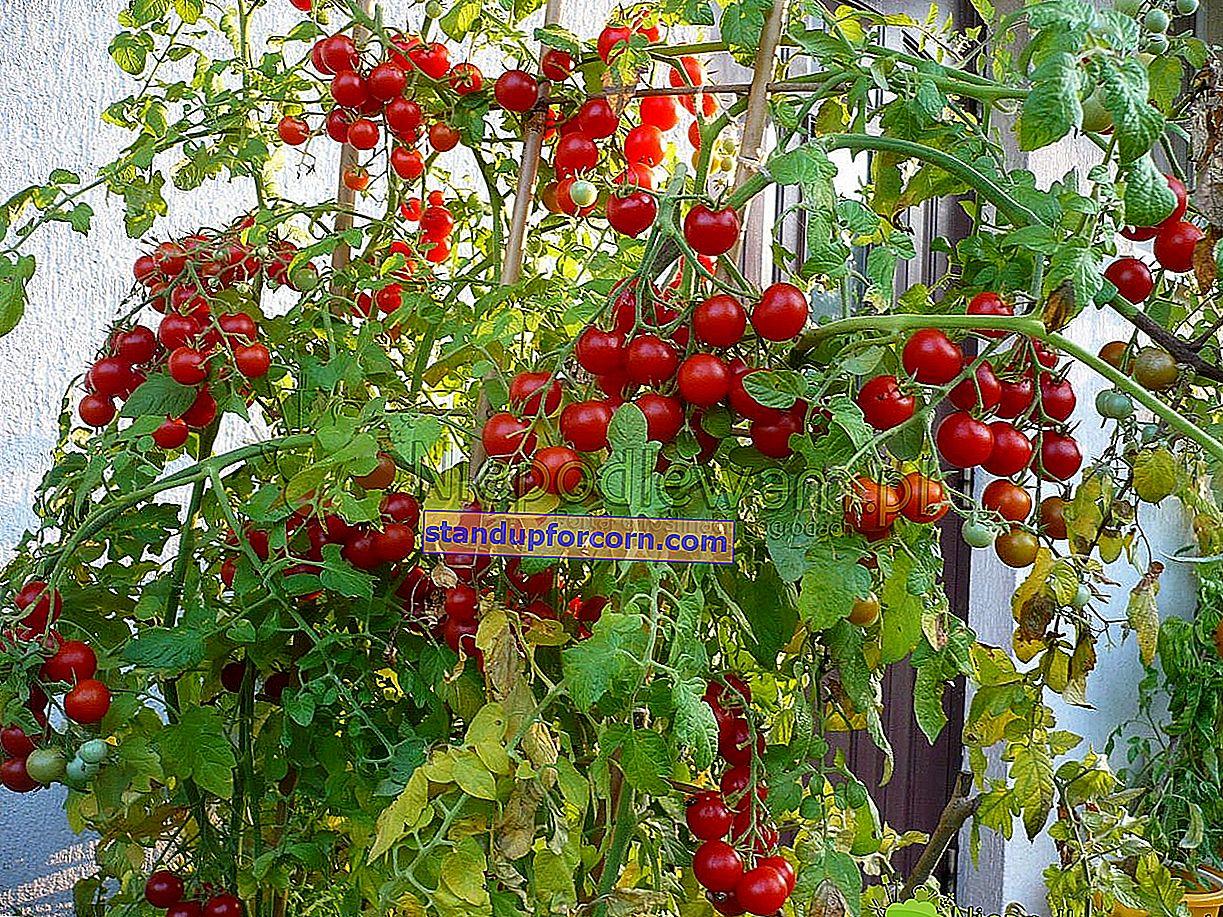 Gødning af tomater. Hvordan og hvad skal man befrugte tomater?