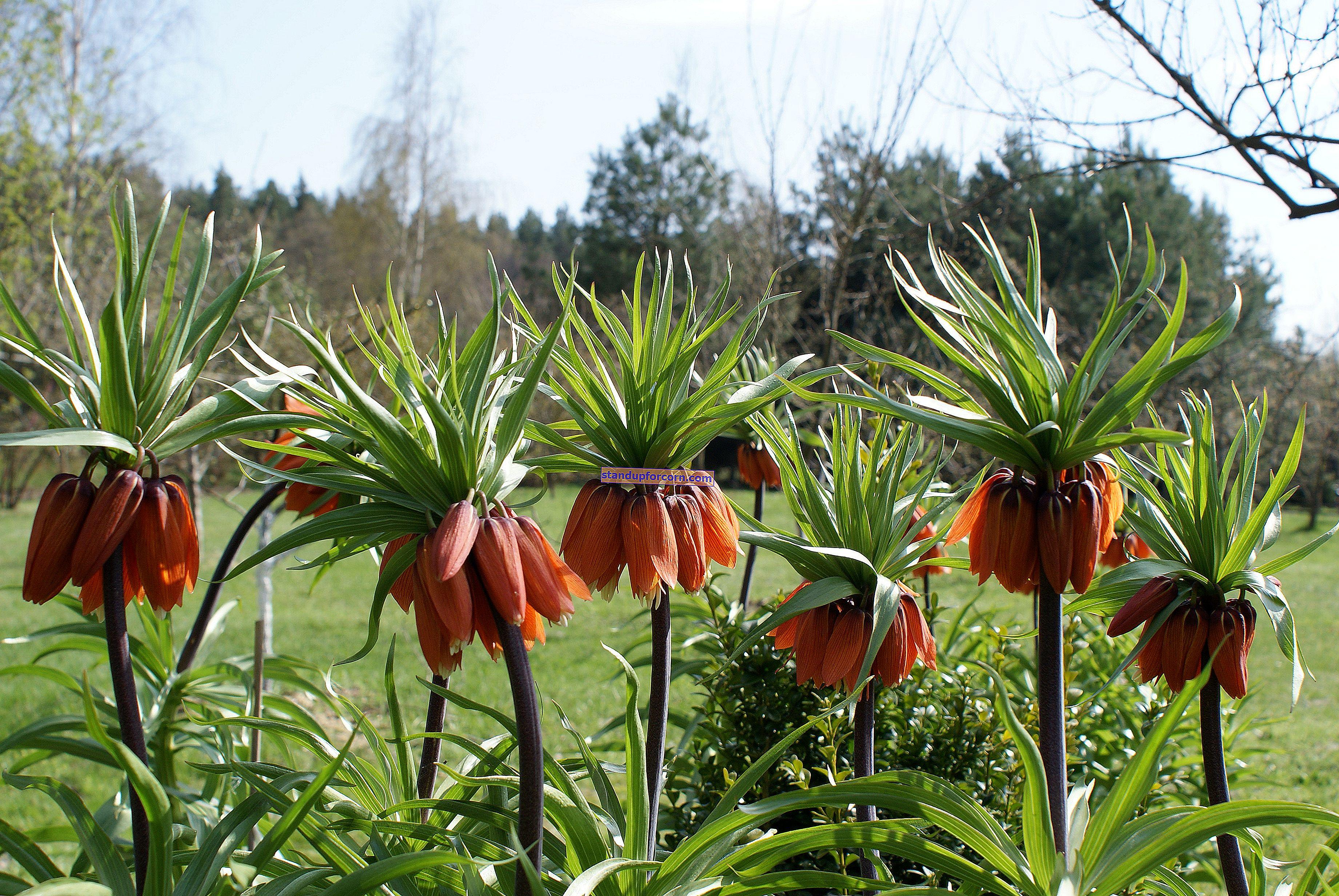Krukväxter - vård och rekommenderade arter