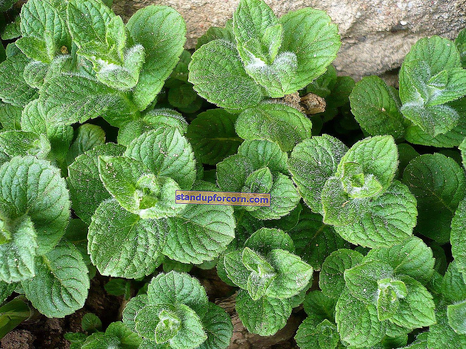 Planter som frastøter katter i hagen