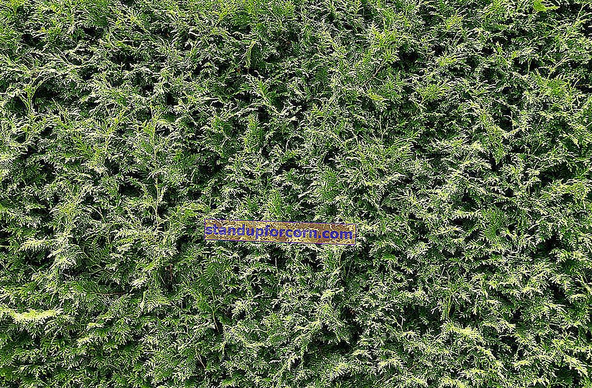 Hnojenie tuje. Ako si vybrať najlepšie hnojivo thuja?