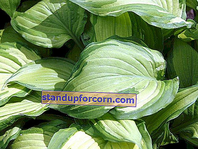 Funkia Fortunea - Hosta of fortunei