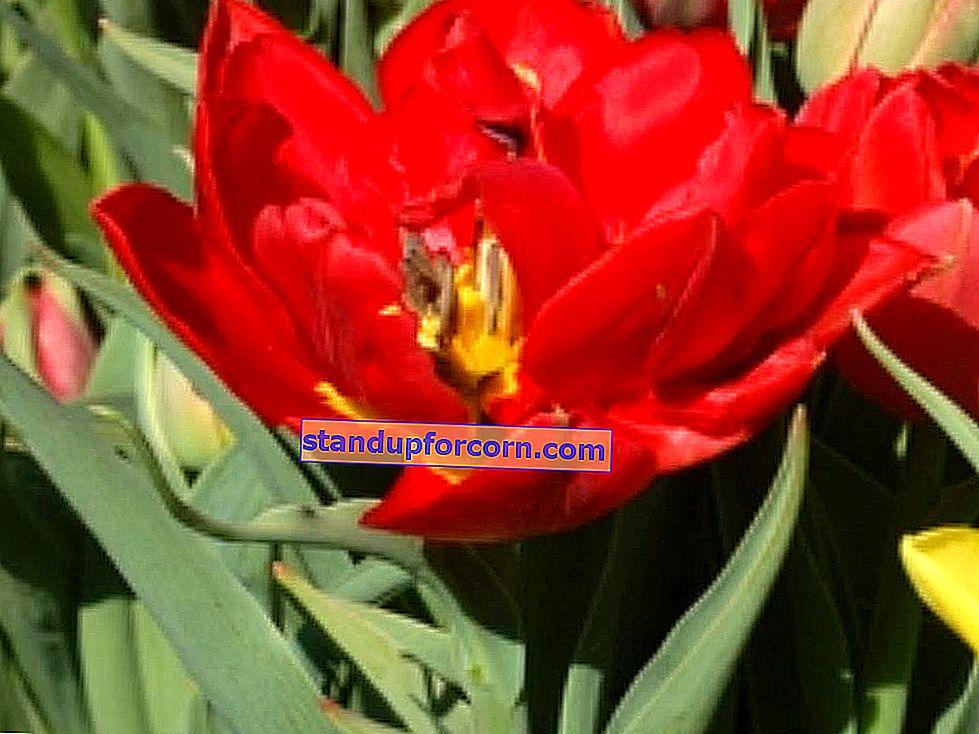 Bahçe frezya. Ne zaman ekilir ve nasıl frezya yetiştirilir?