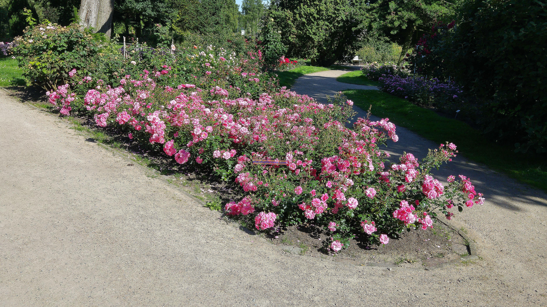 Yer örtüsü güller - çeşitleri, dikim, bakım