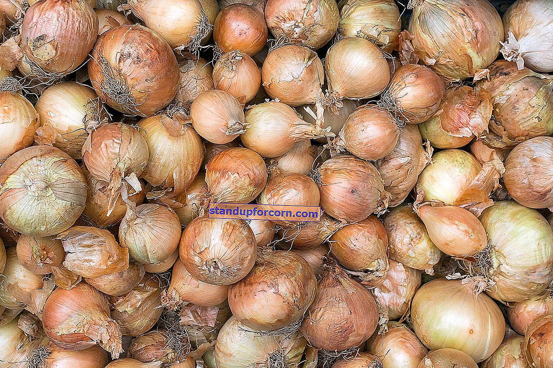 Arpacık soğanı - yetiştirme, uygulama