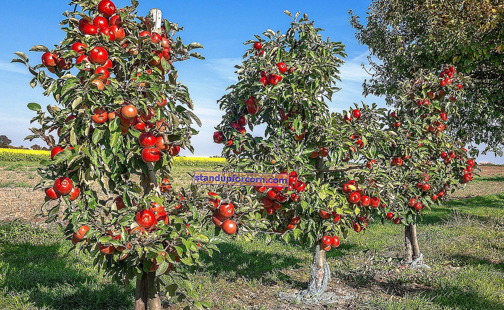 Skærekalender. Hvornår skal man beskære frugttræer og buske?
