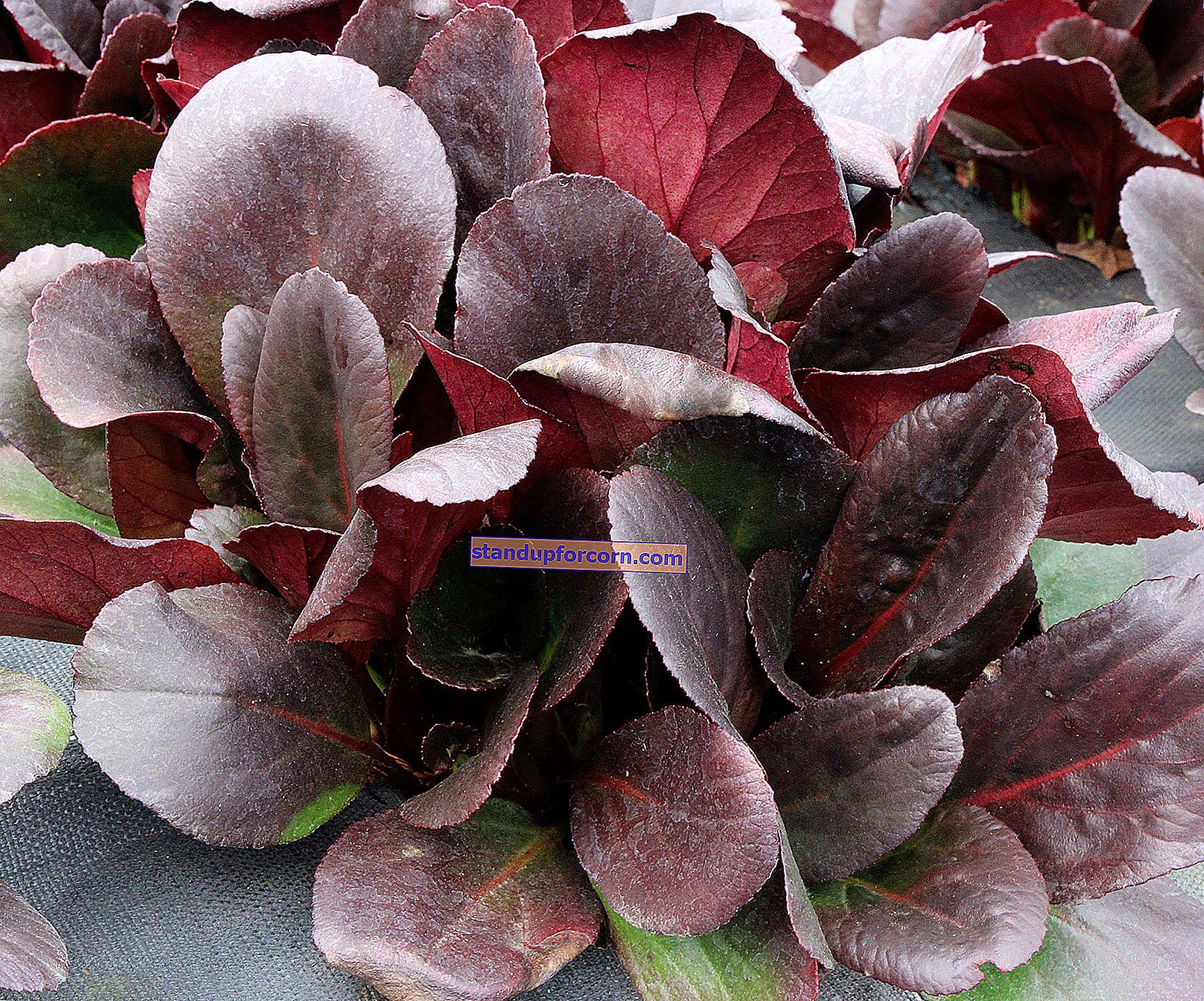 Bergenia sydämenmuotoinen - viljely, lajikkeet, lisääntyminen