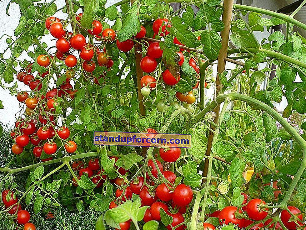 Çeri domates - çeşitleri, toprakta ve saksıda yetiştirme