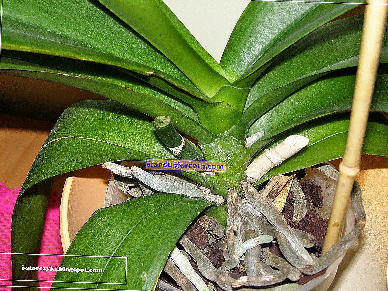 Çiçeklenme sonrası orkide bakımı