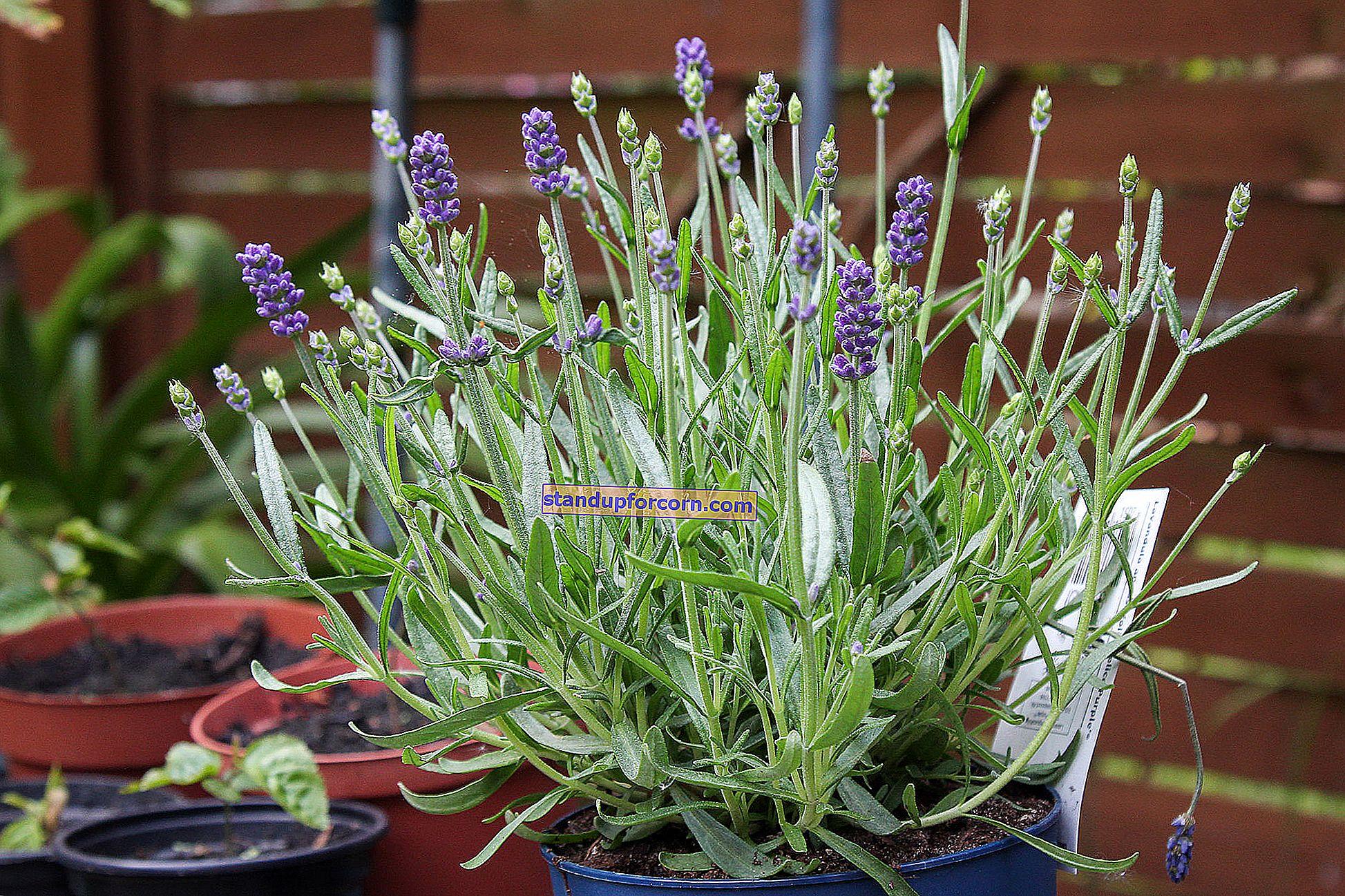 Kasvava laventeli ruukuissa parvekkeella