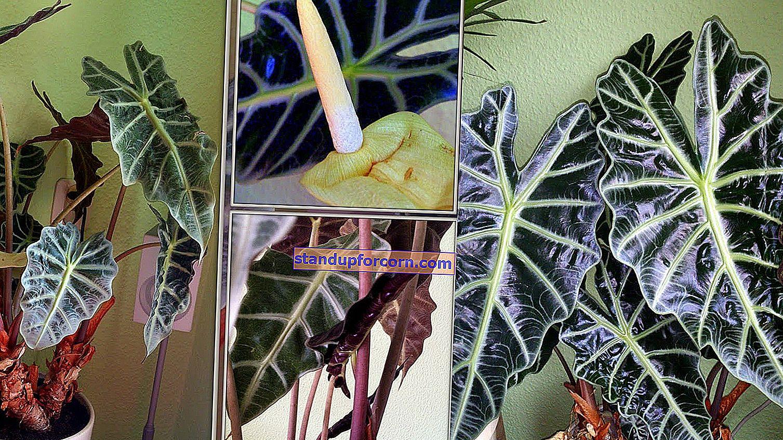 Kluzja, Clusia rosea - viljely, hoito, sairaudet