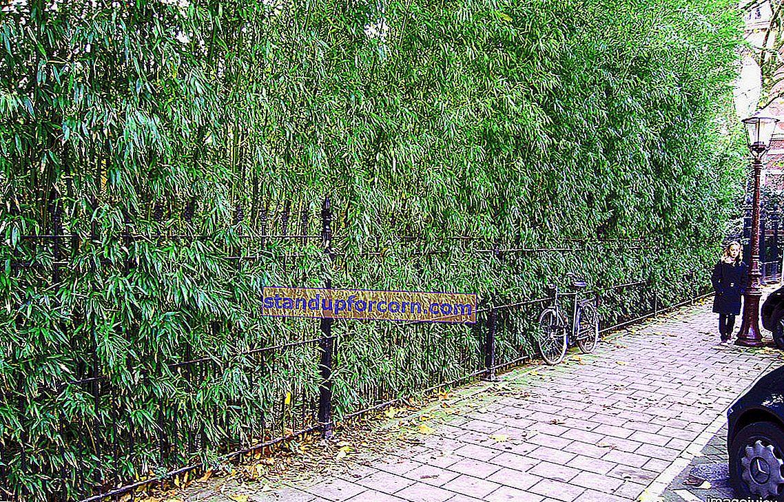 Puutarhan pakkasenkestävä bambu - viljely puutarhassa, lajikkeet