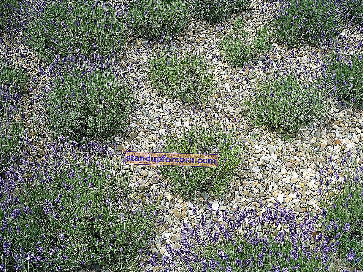 Lavanta - özellikleri, bahçede yetiştirme, kesme, üreme