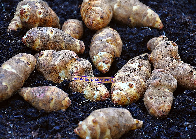 Topinambour, maapähkinä - viljely, ominaisuudet, reseptit