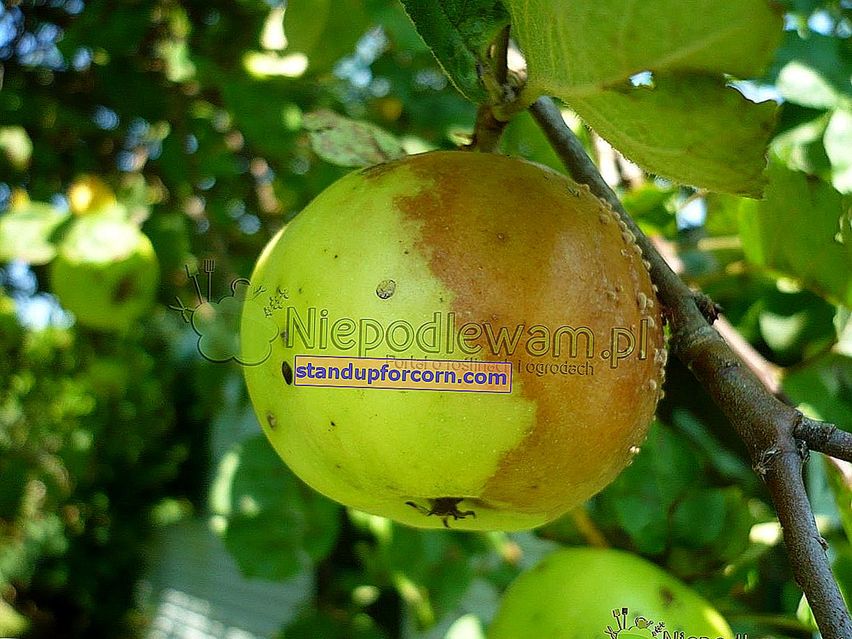 Apple-ruiskutus. Milloin ja mitä omenapuille suihkutetaan?