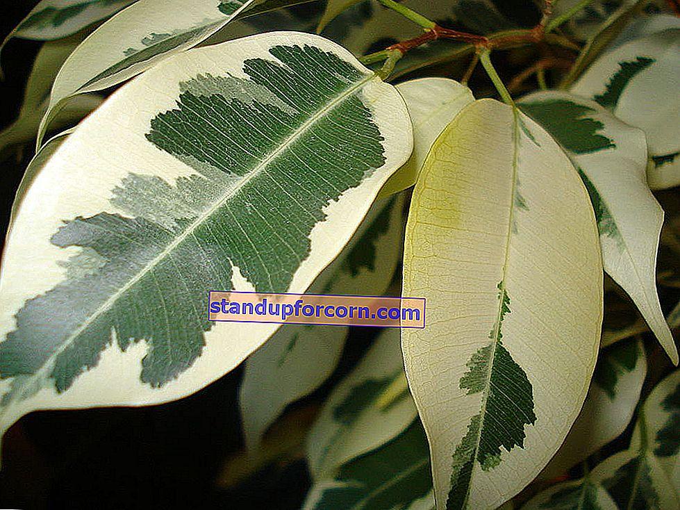 Ficus benjamin - vård, krav, sjukdomar