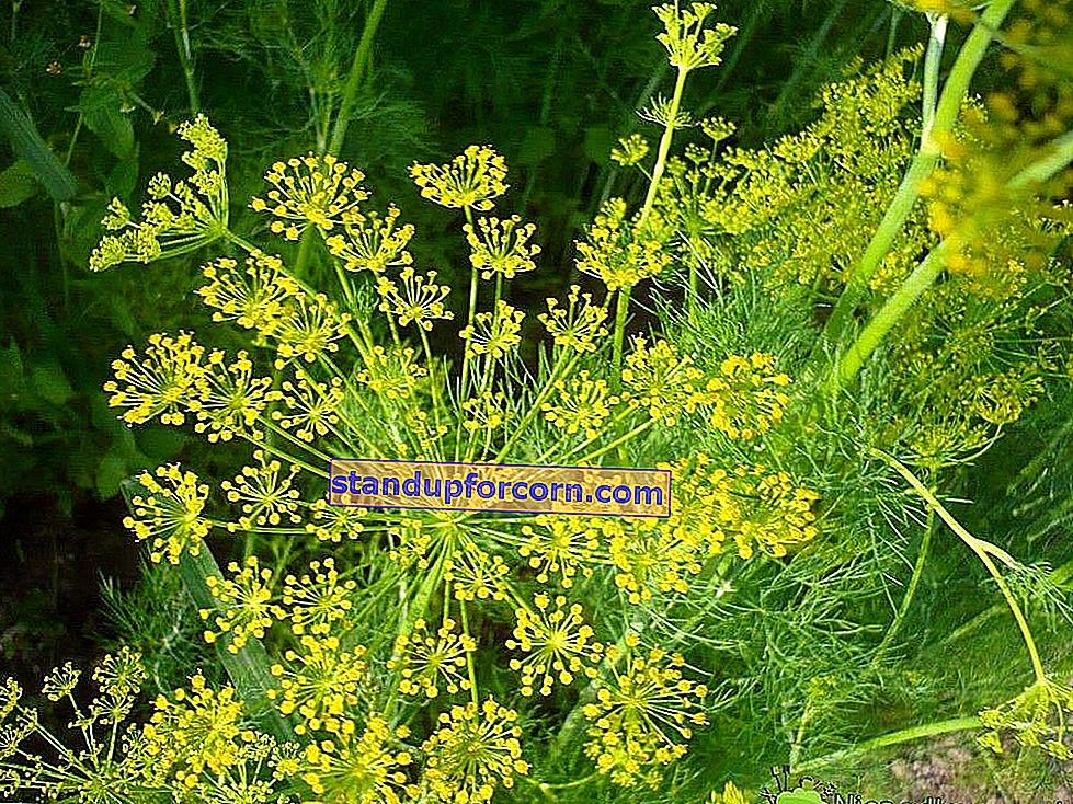 Kasvit varjossa. Mitä istuttaa puutarhan varjoisaan paikkaan?