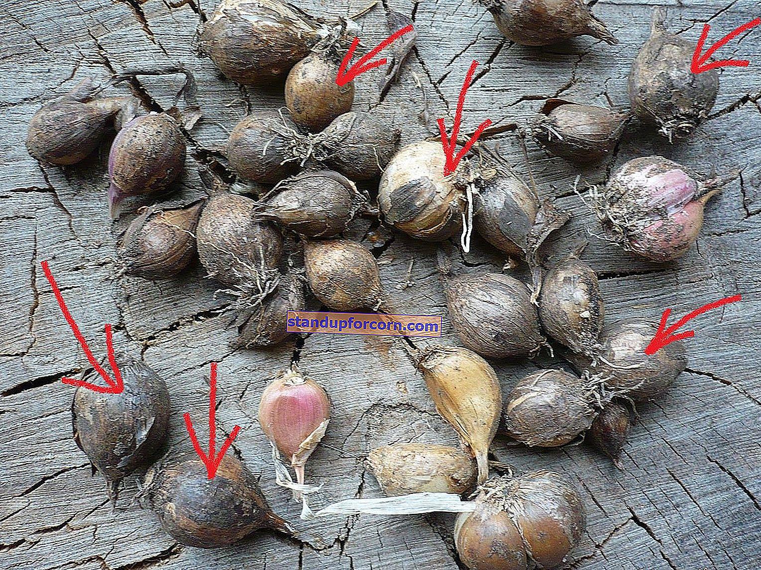 Koristeellinen valkosipuli - viljely, lajikkeet, istutus