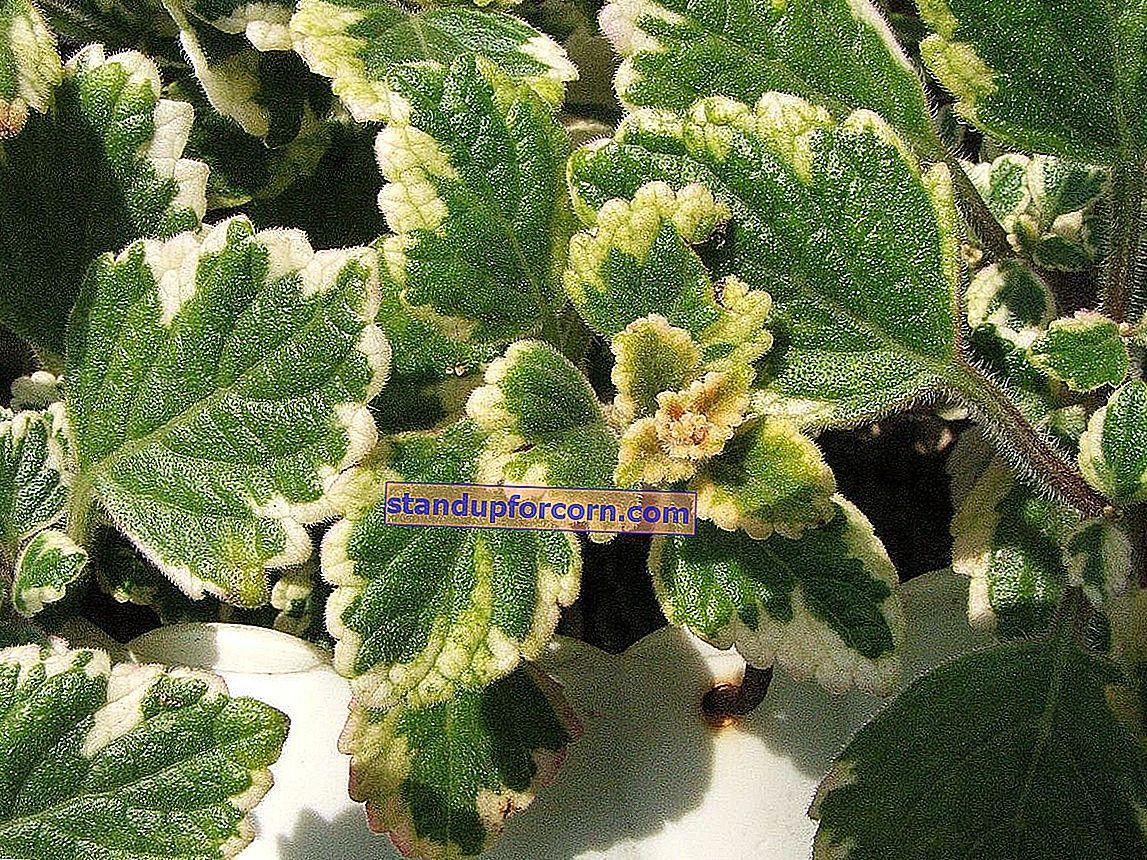 Planter, der afviser myg