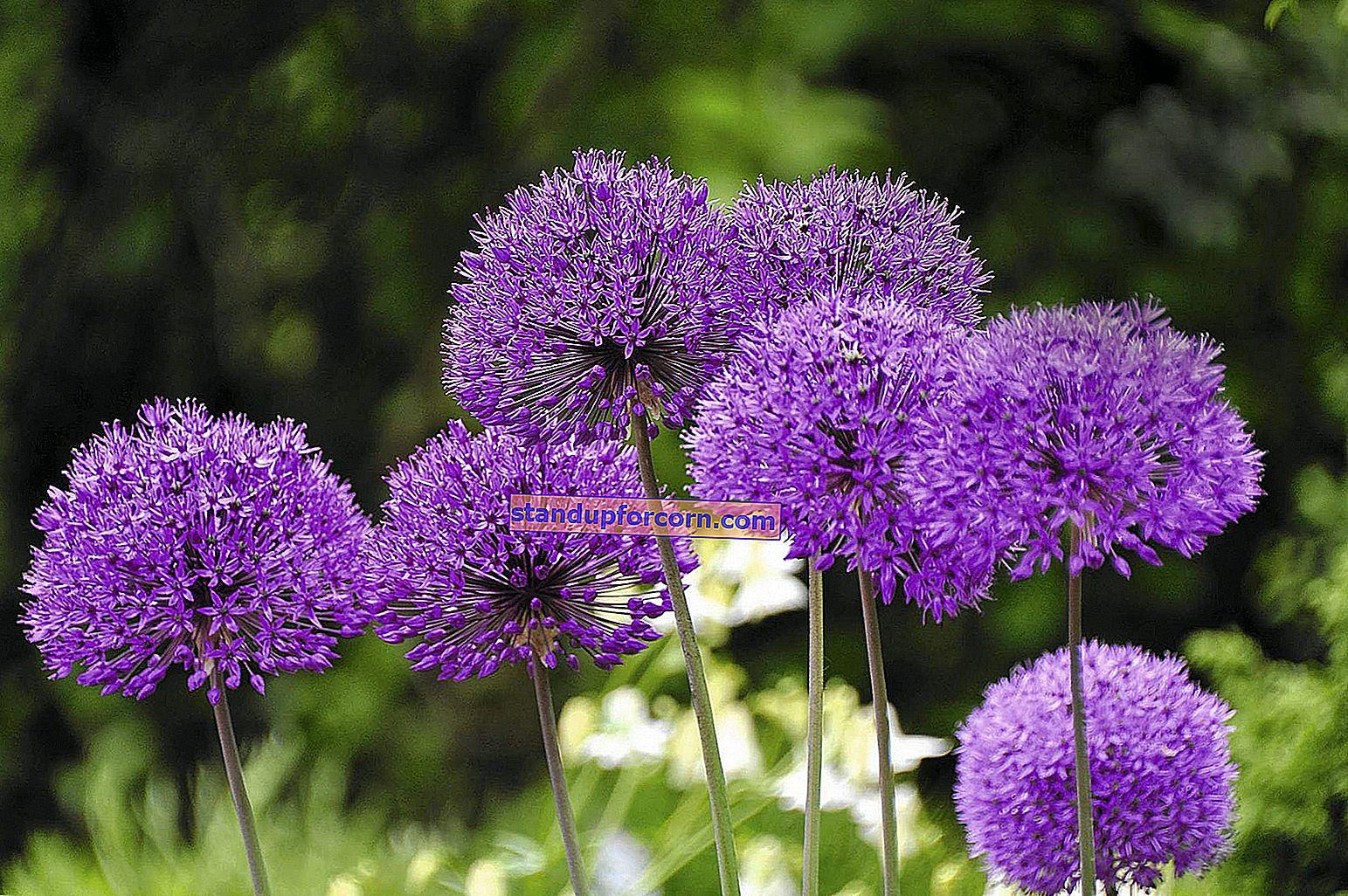 Høstens vinteritt - dyrking, varianter, reproduksjon