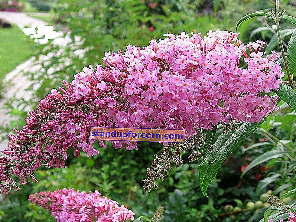 Budleja David, sommerfuglbuske - dyrkning, sorter, pleje