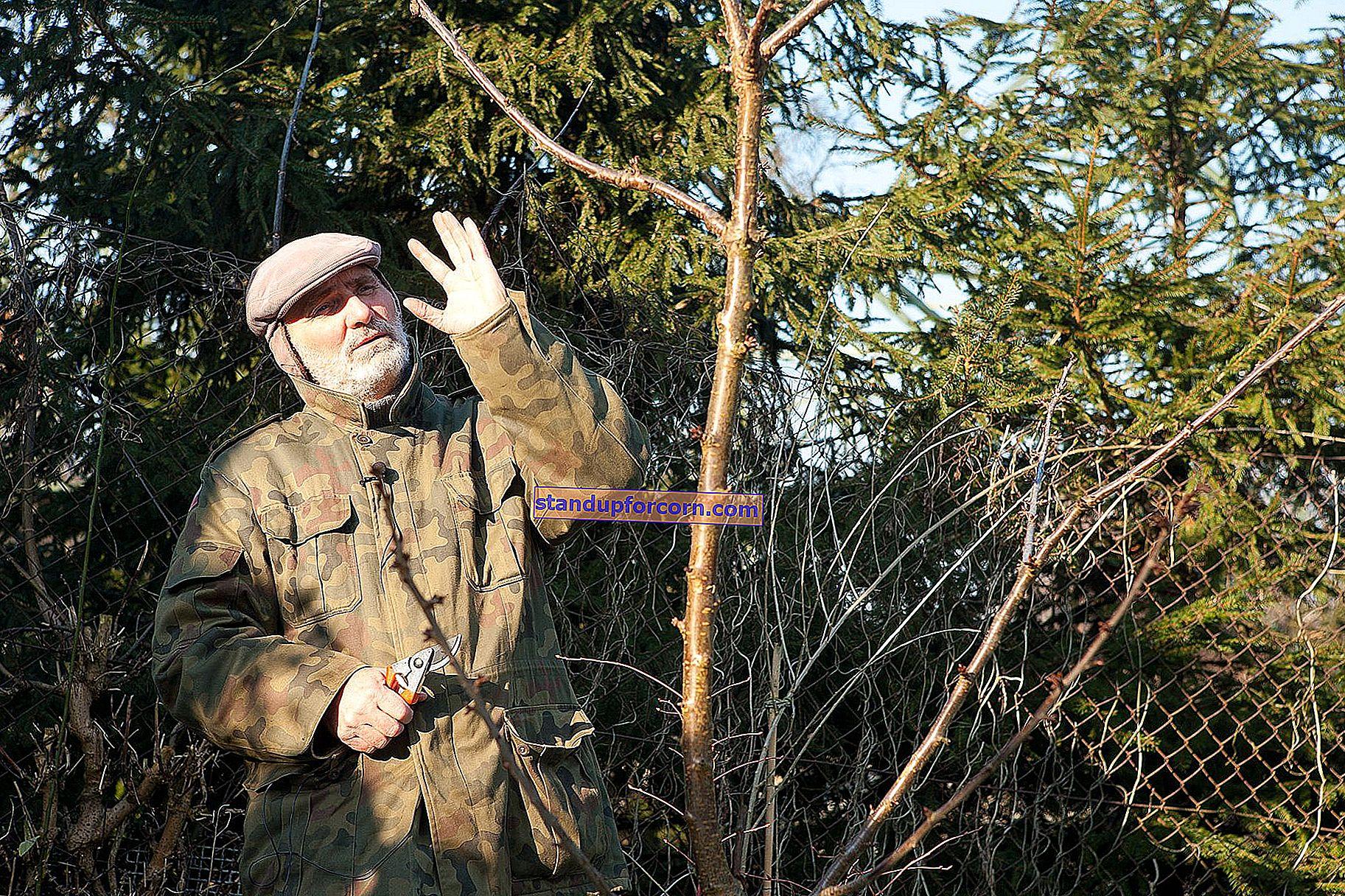 Pærebeskjæring - når og hvordan du beskjærer pæretrær