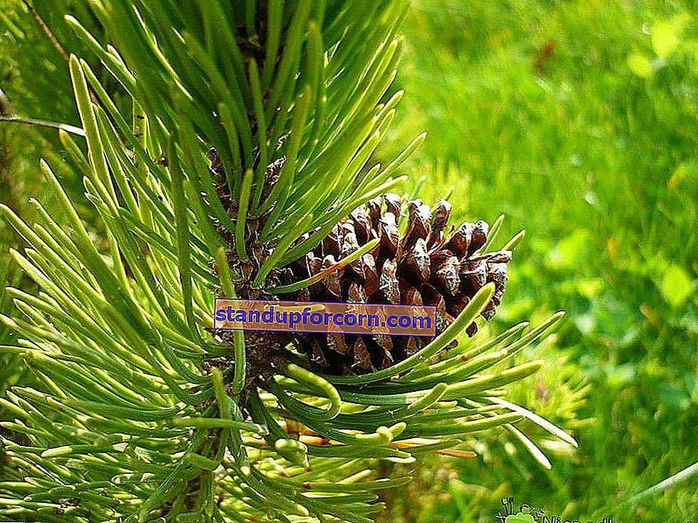 Çin metasequoia - çeşitleri, gereksinimleri, yetiştirme