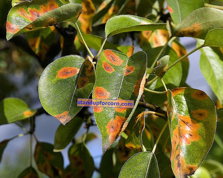 Pærebladsygdomme - symptomer, fotos, kontrol